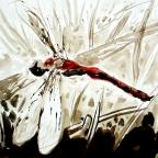 Rote Heidelibelle