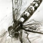 Schwebefliege - 3