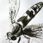Schwebefliege - 4