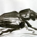 Nashornkäfer